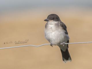 Eastern Kingbird (J)