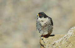 Peregrine Falcon   (Falco peregrinus) (sharp shooter2011) Tags: falcon birdofprey avianphotography naturephotogrpahy wildlifephotography canon peregrinefalcon falcoperegrinus fastestanimalonearth