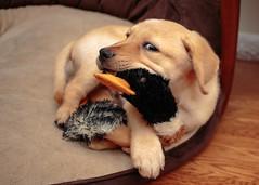 9 Weeks (Michael R Hayes) Tags: labradorretriever labrador retriever dog puppy duck quackers tealbrookretrievers