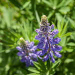 Paarse Lupine thumbnail