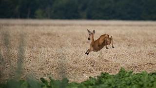 Deer on the run ...