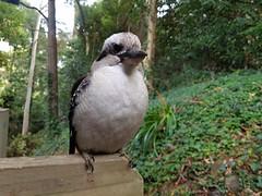 Curious Kookaburra (Sascha Grant) Tags: kookaburra wildlife bird nativebird australiannative nativeaustralian australianbird kingfisher kingfisherfamily