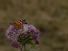 Wales (kjg244) Tags: wales dolphins sea sand beach nature butterfly swallow church sunset landscape bee