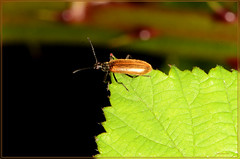 cteniopus sulphureus (2) (bobspicturebox) Tags: himalayan balsam lady bird bugs slow worm musk beetle potato capsid shield bug larva snail fungus