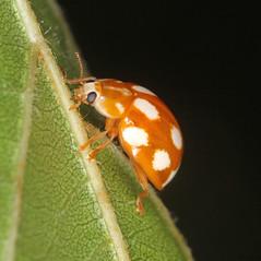 Calvia decemguttata (timz501) Tags: calviadecemguttata ladybird coccinellidae jersey