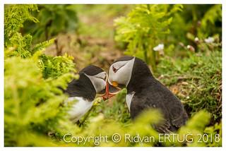 Atlantic Puffin /  Fratercula arctica - Taken at the coast of Skomer Island, Pembrokeshire, Wales, UK