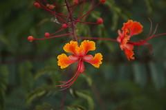 Flower 017 (Az Skies Photography) Tags: july 17 2018 july172018 71718 7172018 nature rio rico arizona az riorico rioricoaz sonoran desert sonorandesert canon eos 80d canoneos80d eos80d canon80d mexican bird paradise mexicanbirdofparadise flower bloom blossom yellow orange