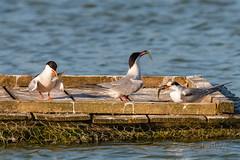 Concours de pêche !!! (denis.loyaux) Tags: afs 600 vr denis loyaux domaine des oiseaux mazères nikon d850 sternepierregarin sternahirundo commontern charadriiformes laridés domainedesoiseaux midipyrénnées france birds nikond5 nikkor600f4