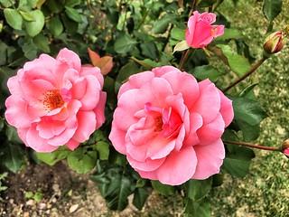 Toronto Ontario ~ Canada ~ Edwards Gardens ~ Botanical Garden -  Pink Rose