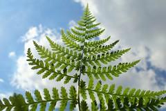 against the sky (libra1054) Tags: farn felce fern samambaia fougère helecho macro closeup flora nature outdoor