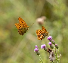 The Last Song (pauldunn52) Tags: high brown fritillary silver rewashed alun valley wales vale glamorgan thistle