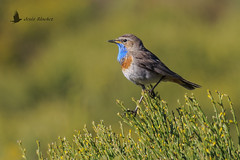 Ruiseñor pechiazul (Luscinia svecica) (jsnchezyage) Tags: ruiseñorpechiazul lusciniasvecica ave bird birding birdwatching ornithology beak feather bluethroat ngc npc