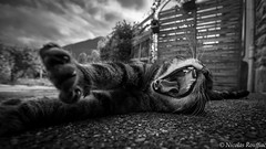 Gros étirement ... (Nicolas Rouffiac) Tags: étirement baillement bailler cat cats chat chats pet animal animals animaux nb bw monochrome yawning yawn