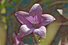 imageedit_2_2570113267 (adamsshawn390) Tags: platycodon grandiflorus balloon flowerwatcher
