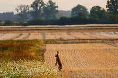 Good Morning (ivlys) Tags: hessischesried hessianreed crumstadt feld field feldhase lepuseuropaeus europeanhare tier animal kamille chamomile landschaft landscape natur nature beisonnenaufgang atsunrise ivlys