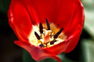 Toronto Ontario ~ Canada ~ Edwards Botanical Gardens ~  Red Tulip Macro