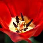 Toronto Ontario ~ Canada ~ Edwards Botanical Gardens ~  Red Tulip Macro thumbnail