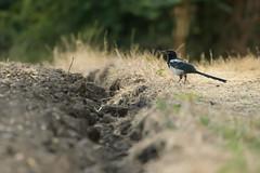 Magpie (Stickyemu) Tags: wildlife nature bird magpie field suffolk countryside nikond500 nikon200500mmf56