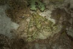 Tympanota perophora (dustaway) Tags: arthropoda insecta lepidoptera geometridae larentiinae australianmoths australianinsects mounttamborine tamborinemountain sequeensland queensland australia nature tympanotaperophora