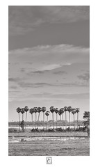 Fan (krishartsphotography) Tags: krishnansrinivasan krishnan srinivasan krish arts photography monochrome fineart fine art fan palm tree sky clouds water wind land mud vertical portrait sarkarpalayam road kallanai trichy tamilnadu india
