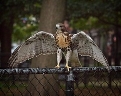Balancing act (Goggla) Tags: fledgling a2 nyc new york manhattan east village tompkins square park urban wildlife bird raptor red tail hawk 2 fence