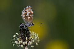 Aberrant artaxerxes (Tim Melling) Tags: aricia artaxerxes northern brown argus butterfly timmelling