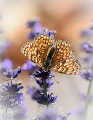 Grand damier (watbled05) Tags: macro papillon fleurs bokeh lavande