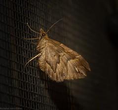 Chaetolopha leucophragma (dustaway) Tags: arthropoda insecta lepidoptera geometridae larentiinae australianmoths australianinsects mounttamborine tamborinemountain sequeensland queensland australia nature