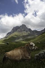 Apathy (Giorgi Natsvlishvili) Tags: cow caucasusmountains chaukhebi chaukhi georgia georgiandolomites dolomites cliffs mountainscape mountains mountainscapephotography photography travel travelphotography khevsureti canoneosm50
