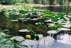 Yellow Pond Lilies at Surprise Lake (qbose8) Tags: olympus om2n colorado lake flowers