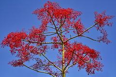 Red blossom tree (gerard eder) Tags: world travel reise viajes natur nature naturaleza park parque tree redblossomtree redtree red flowers flores blumen flora exotictree outdoor
