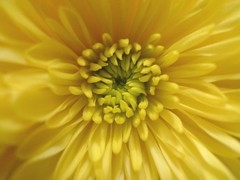 color me yellow (courtney065) Tags: leicadlux4 nature flora mum yellow blooms blossoms summer macro textures opening artistic abstract floral flower bright