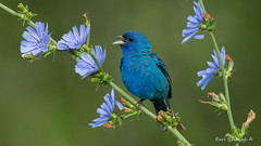 What are the chances? (Earl Reinink) Tags: bird animal wildlife nature earl reinink earlreinink outside outdoors bumting blue flowers blueflowers indigobunting song songbird singing uhzdatidza flower tree