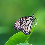 Monarch Butterfly on Common Milkweed thumbnail