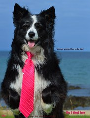 Tied up (ASHA THE BORDER COLLiE) Tags: funny dog picture border collie tie tied up pretty pink ashathestarofcountydown connie kells county down photography