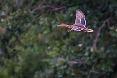 banking (jimmy_racoon) Tags: canon 400mm f56l 5d mk2 birds flight bif bird duck mallard nature prime canon400mmf56l canon5dmk2 birdsinflight