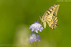 macaone (taronik) Tags: animali cacciafotografica natura fiori farfalle
