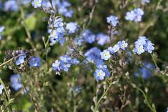 Vergissmeinnicht (Marie Kappweiler) Tags: vienna wien vienne botanischergarten jardinbotanique garden pflanzen plants plantes fleur blume flowerblüte blossom raublattgewächse boraginaceae myosotis bleu blau hellblau blue 7dwf