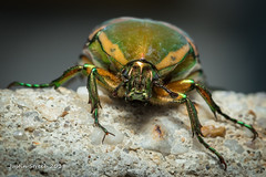 Green June Beetle (strjustin) Tags: greenjunebeetle junebeetle beetle bug insect macro beautiful