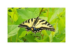Swallowtail Butterfly (BlueisCoool) Tags: flickr foto photo image capture picture photography nikon coolpix l330 macro spring color colorful bright vivid butterfly swallowtail lepidoptera insect nature outdoor outdoors springbutterfly plainvillemassachusetts newengland