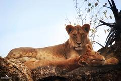 Lioness Mom And Cub On A Kopje (pbmultimedia5) Tags: lioness lion cub animal feline tanzania serengeti national park rock nature pbmultimedia kopje