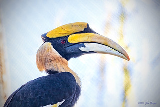 Great Hornbill (Buceros bicornis) at the Reid Park Zoo in Tucson
