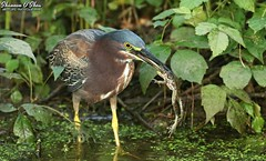 What do frogs wear on their feet in the summertime? (Shannon Rose O'Shea) Tags: shannonroseoshea shannonosheawildlifephotography shannonoshea shannon greenheron heron bird beak yelloweye yellowlegs yellowfeet canal duckweed leaves green frog butoridesvirescens wildwoodlake harrisburg pennsylvania dauphincounty colorful outdoors outdoor fauna water nature wildlife waterfowl art photo photography photograph wild wildlifephotography wildlifephotographer wildlifephotograph femalephotographer girlphotographer womanphotographer throughherlens shootlikeagirl shootwithacamera prey wading wadingbird flickr wwwflickrcomphotosshannonroseoshea wings feathers camera canon canoneos80d canon80d eos80d 80d canon100400mm14556lisiiusm amphibian