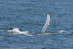 #UNK.MN.CRESLI.2018-08-08-03 (ah_kopelman) Tags: unkmncresli2018080803 2018 cresli creslivikingfleetwhalewatch megapteranovaeangliae montaukny vikingfleet vikingstarship flipperslapping humpbackwhale whalewatch