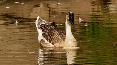 Swan Goose-1160852 (Mooshie1956) Tags: reddish stockport panasonic lumix g80g85 43m micro43 m43 panasonic100400 leica100400 swangoose reddishvale
