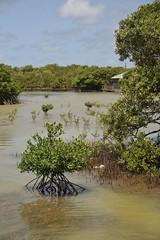 (fabhuleux) Tags: france antilles martinique nature mangrove tamron canon