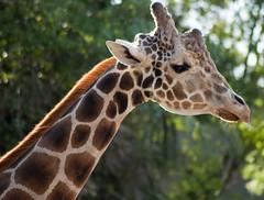 Reticulated Giraffe (Giraffa camelopardalis reticulata) (fisherbray) Tags: fisherbray usa unitedstates florida hillsboroughcounty tampa tampabay zootampa zoo tierpark lowrypark nikon d5000 reticulatedgiraffe giraffacamelopardalisreticulata somaligiraffe giraffe