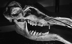 In the museum (pangwillis) Tags: elephant bw monochrome smile black white bone abstract closeup animal old museum dim dimlight