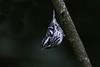 Black-and-White Warbler (Alan Gutsell) Tags: blackandwhite warbler blackandwhitewarbler migration springmigration spring photo nature canon alan galveston texas