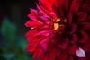Red (Cati@) Tags: rosso petali luce gocce colore